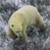 https://peterguttman.com/images/topten/polar_bear.jpg